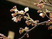 東京さくらの開花宣言